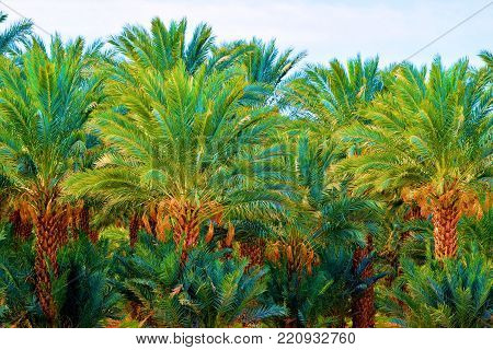 Lush green palm tree oasis taken at a date farm in the Coachella Valley, CA poster
