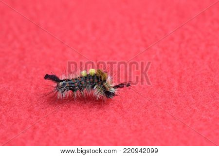 Lymantria dispar crawling on a red background bent in half, an insect, a butterfly, a pest, a parasite, a caterpillar, eats the foliage of plants