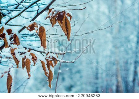 a hornbeam with dried leaves on a blurry background of snow-covered trees, a free space for the inscription on the right