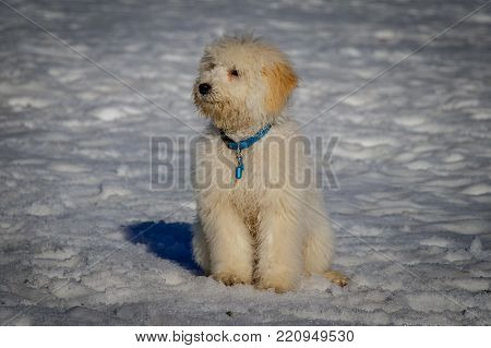 adorable,  goldendoodle, animal, beautiful, blue, breed, brown, chasing, cold, cold temperature, cute, dog, doodle, fast, fluffy, fun, funny, fur, golden, golden doodle, happy, isolated, joy, little, looking, lovely, mammal, mixed, nature, pet, play, pood