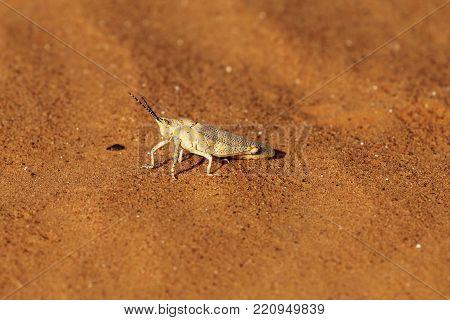 The Grasshopper Poekilocerus Bufonius Hieroglyphicus