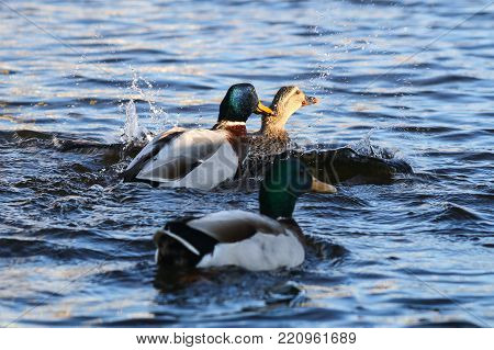 A mallard drake grabbing hold of a female by the neck as he mates with her