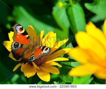 Butterfly on flower. The colourful butterfly sits on a yellow flower. The picture is taken very close.  The sun rays fall on the flower and butterfly.