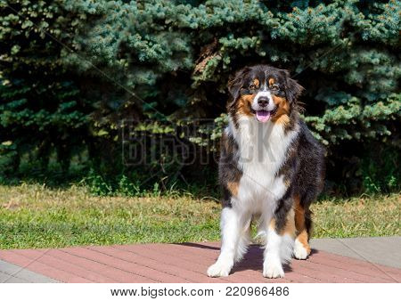 Border Collie  . The Border Collie is in the park.