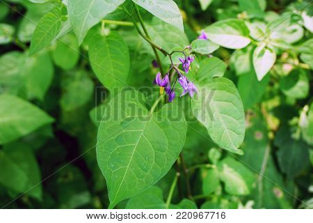 Flowers of the bittersweet nightshade plant (Solanum dulcamara) bloom in Joliet, Illinois during July.