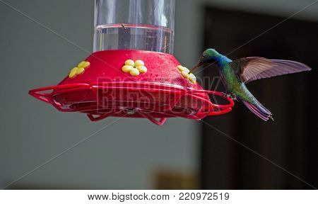 A black-throated mango hummingbird, latin name Anthracothorax nigricollis, supping nectar from a bird feeder positioned in the rainforest of Tobago, Trinidad and Tobago.