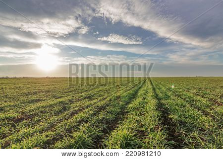 Wheat Seedlings Growing In A Field. Young Green Wheat Growing In Soil.