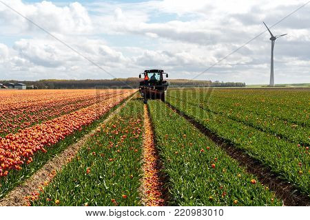 Large view on the tractor harvesting the tulips on the field