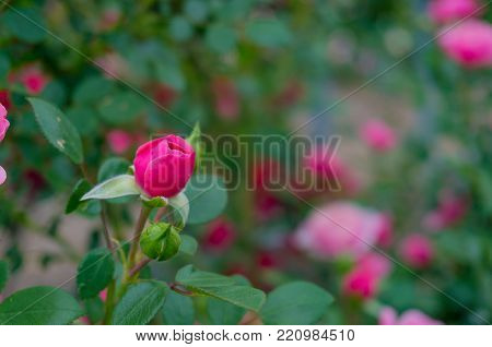 Colorful And Vivid Rose Flower Bud. Nature Background. Selective Focus, Shallow Dof