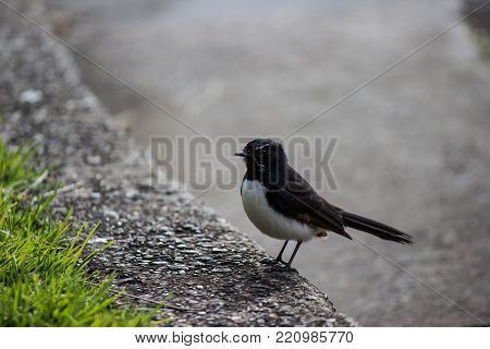 Willie Wagtail bird on curbside of the road