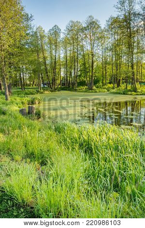 Grass on the shore of the lake with duckweed and deciduous trees