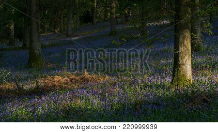 English Oaks stand among bluebells in an English woodland in spring.
