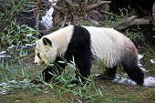 Giant panda bear walking in Vienna Zoo, Austria poster