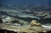 Whitetip Reef Shark (Triaenodon obesus). Maldives. Indian ocean. Addu atoll. poster