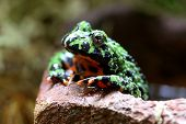 A macro shot of a Fire-Bellied Toad (Bombina Orientalis). These toads inhabit northeastern China as well as Korea. poster