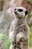 Meerkat standing alert for danger in zoo poster
