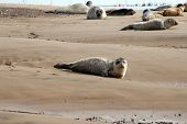 seal pup on sandy beach with common & grey seals in background poster