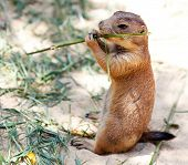 richardsons ground squirrel poster