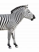Common (Burchell's) zebra looks like talking or smiling. Isolated on white background. Clipping path included. poster