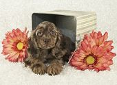 Cocker Spaniel puppy laying in bucket with pink flowers on a white background poster