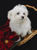 Maltese Puppy in basket with red flowers. poster