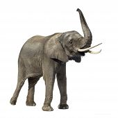 Elephant in front of a white background poster