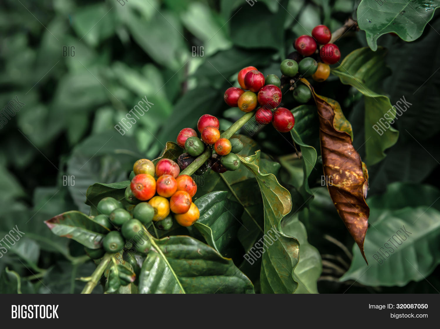 Coffee Beans On Branch Image Photo Free Trial Bigstock
