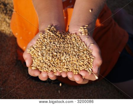 Handful Of Goldn Wheat