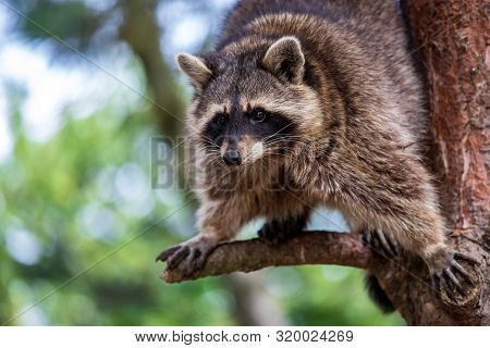 Portrait Of Adult Common Raccoon On The Tree Branch. Photography Of Lively Nature And Wildlife.