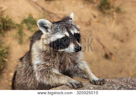 Portrait Of Young Common Raccoon. Photography Of Lively Nature And Wildlife.