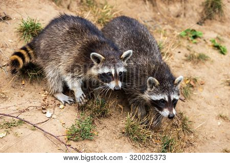Full Body Of Two Young Common Raccoons. Photography Of Lively Nature And Wildlife.