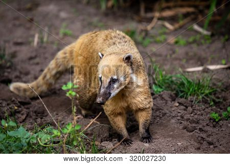 Portrait Full Body Of Adult Nasua Raccoon. Photography Of Lively Nature And Wildlife.
