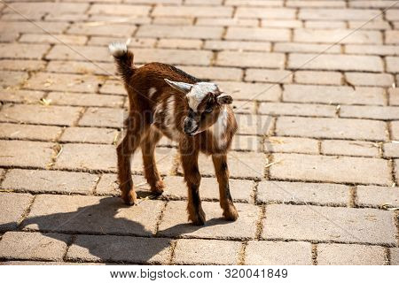 Full Body Of Young White-brown African Pygmy Goat. Photography Of Lively Nature And Wildlife.