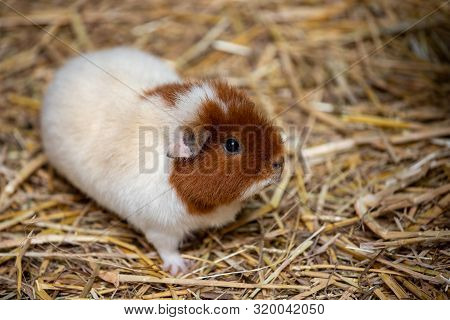 Full Body Of White-brown Domestic Guinea Pig (cavia Porcellus) Cavy On The Straw. Photography Of Liv