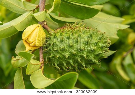 Soursop Fruit On Its Trees, In Martinique.