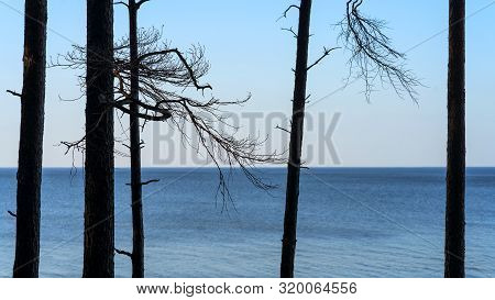 Dunes With Silhouettes Of Trunks With Pine Branches Against The Background Of The Baltic Sea On A Su