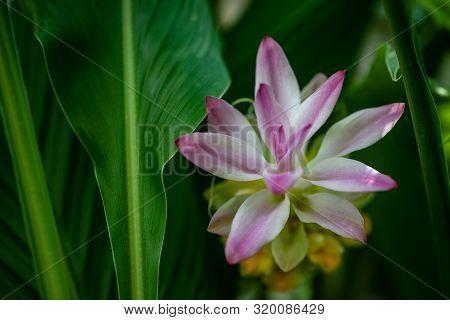 View Of Soft Flowering Wild Turmeric Curcuma Longa Plant. Photography Of Lively Nature.