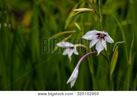 View Of African Gladiolus Murielae Flowers In The Summer Time Garden. Photography Of Lively Nature.