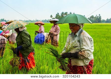 Alappuzha, India - March 19, 2012: Unidentified Farmers Working In The Beauty Rice Field In Asia
