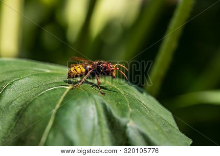 Close-up Of European Hornet On The Green Leaf. Photography Of Nature And Wildlife.