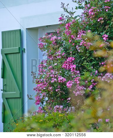 Sunny View In Front Of A Green Window With Shutters Of An Old Farm House, With A Bush Of Pink Flower