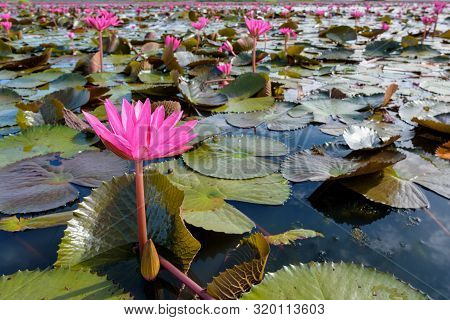 Beautiful Nature Landscape Of Many Red Lotus Flowers, Close Up Red Indian Water Lily Or Nymphaea Lot
