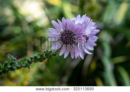 View Of Flowering Lilac Cactus Plant. Macro Photography Of Lively Nature.