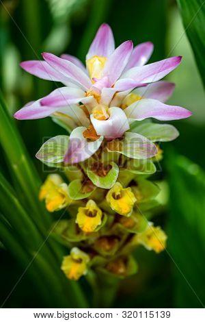 View Of Soft Flowering Wild Turmeric Curcuma Longa Plant. Macro Photography Of Lively Nature.