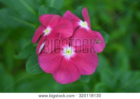 Dark Pink Catharanthus Flower From Central Of Thailand