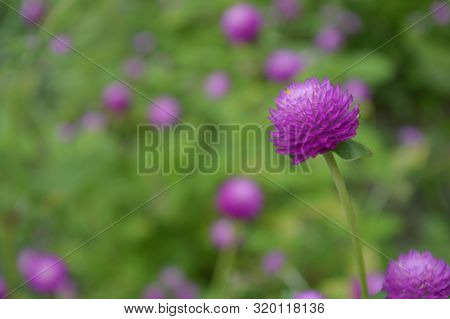 Globe Amaranth Flower From Central Of Thailand