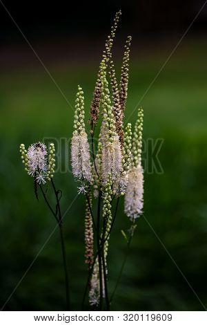 View Of White Flowering Wild Plant On The Summer Meadow. Photography Of Lively Nature.