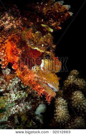 Closeup Of Tasseled Scorpion-fish, Maldives