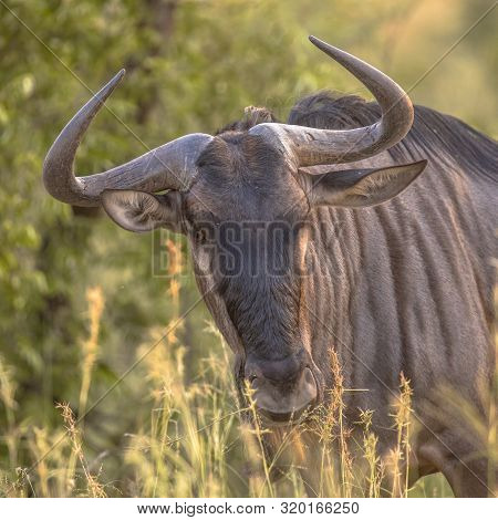Blue Wildebeest or Brindled Gnu (Connochaetes taurinus) agressive head ready to charge in Kruger national park South Africa poster