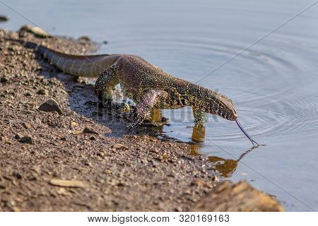Water Monitor (varanus Niloticus) On Water Edge In Kruger National Park South Africa